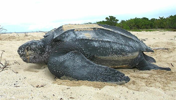 En havlærskilpadde som dekker sine egg på en strand.