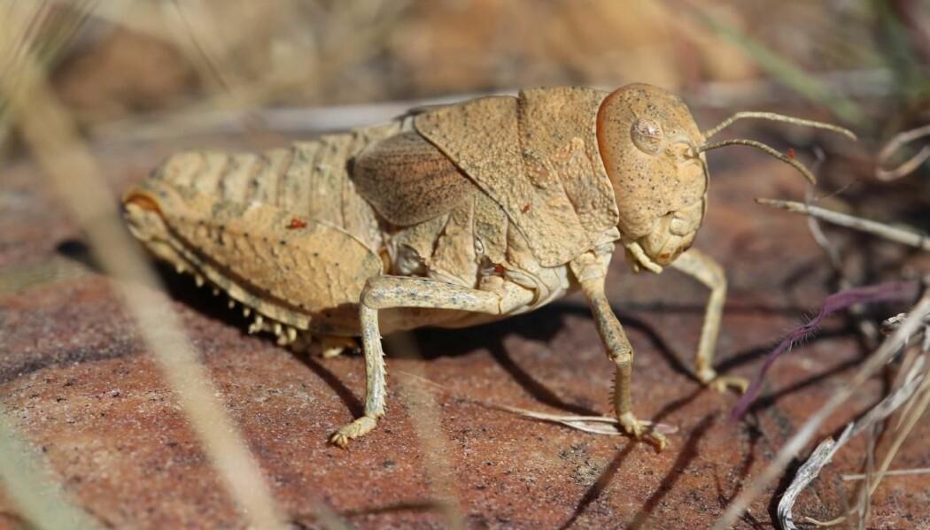 Gresshoppen Prionotropis rhodanica er en av artene som er ille ute. Insektet lever bare i Sør-Frankrike og er i dag kritisk truet.