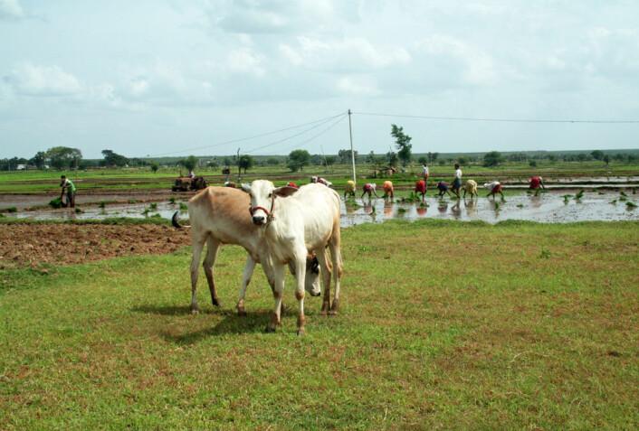 To kalver står i forgrunnen mens det plantes ris. Indiske småbønder sliter med små åkerlapper og stadig stigende kostnader. (Foto: Asle Rønning)