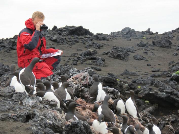 Erlend Lorentzen ser etter egg og unger blant voksne polarlomvi på Skrinnodden. (Foto: Norsk Polarinstitutt)