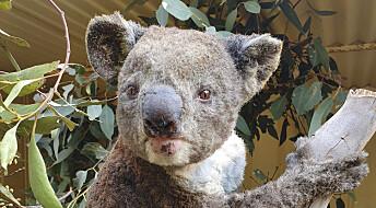 Koalaer er blant 113 truede arter i brannherjede Australia