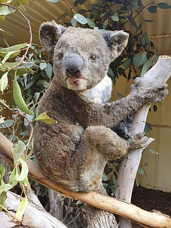 Koalaen er blant 113 arter som trenger øyeblikkelig hjelp etter skogbrannene i Australia, slår en ekspertgruppe fast.