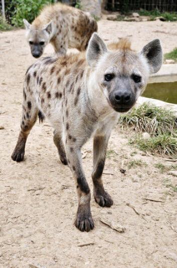 Hyenene er ikke spesielt forfengelige, mener zoologen. (Foto: Colourbox)