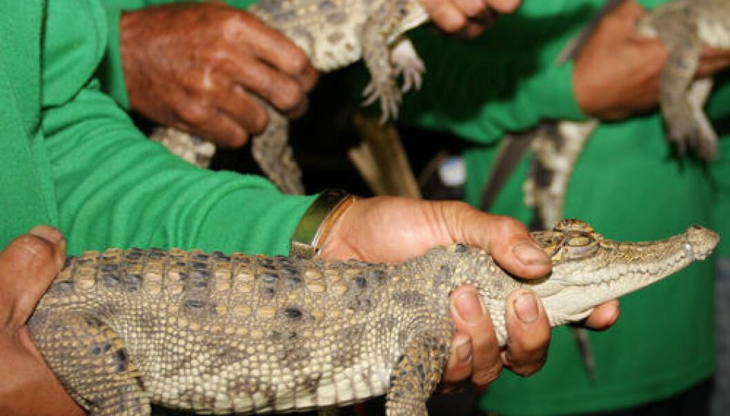 Krokodillebarn på vei mot det fri