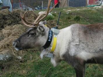 """""""Ett av reinsdyrene på Filefjell med AIS-halsbånd som skal spores av NCUBE2. Foto: Petter Kittelsen, UMB"""""""