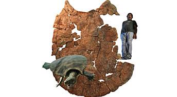 Dette er restene av den største skilpadden som noen gang har levd på landjorda