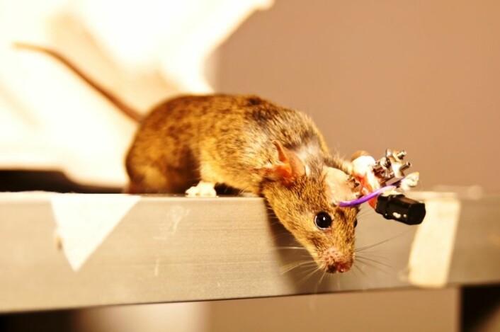 Mus med anordning på hodet slik at forskerne kan høre hjerneaktiviteten. Den festes under full narkose, og dyra får smertelindring etterpå, selv om forskerne ikke ser noen tegn til at de har det vondt. Musene har i tillegg hver sin ansvarsperson i laboratoriet, som passer ekstra godt på dem, ifølge May-Britt Moser. (Foto: Matias Okawa)