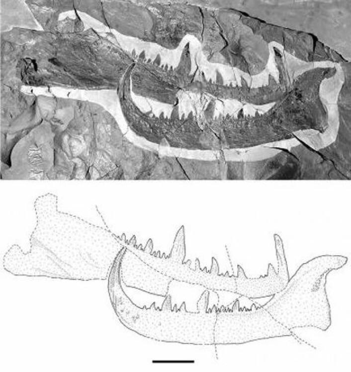 """""""Foto og skisse av den fossile kloa."""""""