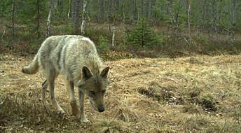 Nei, ulv i Norge stammer ikke fra en dyrepark i Paris