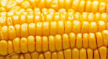 Er det trygt å spise GM-mat?