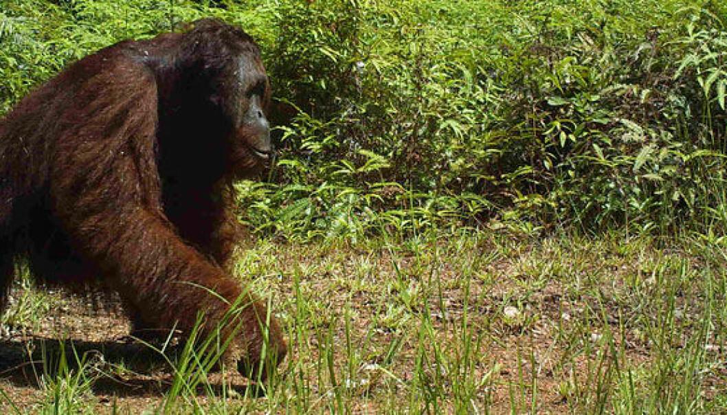 Orangutangen er perfekt tilpasset et liv høyt oppe i trærne, men selv den tar en tur ned på bakken iblant. Brent Loken