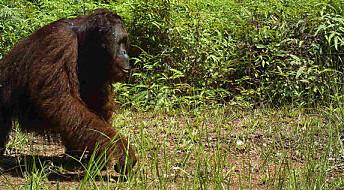 Orangutangen tar en spasertur
