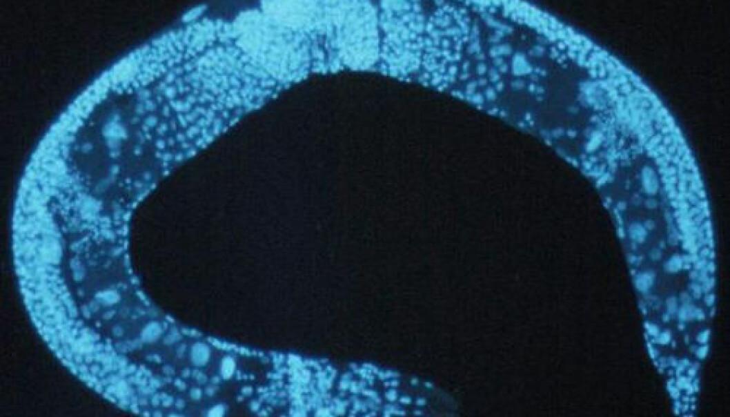 C. elegans. Wikimedia Commons