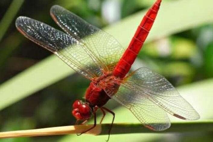 Denne røde øyenstikkeren Crocothemis erythraea trives godt i et varmt klima. Andre mørke arter sliter med varmen, noe som blir et problem når klimaet blir varmere i fremtiden. Derfor flykter mørke insekter mot nord. (Foto: Nature Communications)