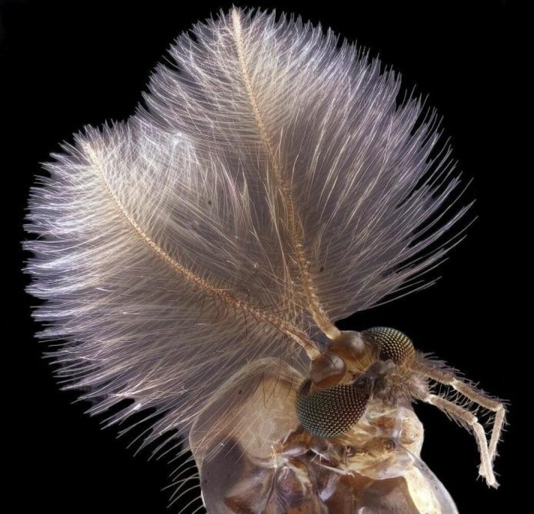 Klarer du å se hva dette er? Det er en mygg!