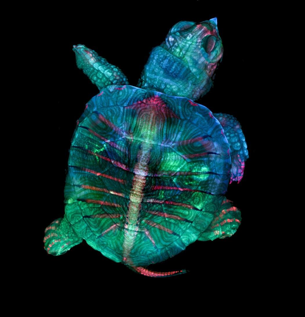 Dette bildet vant konkurransen. Du ser en skilpadde før den kommer ut av egget sitt. Forskerne har lagt på farger. Den rosa fargen viser skjelettet, mens den blå og grønne fargen viser hud og skallet.