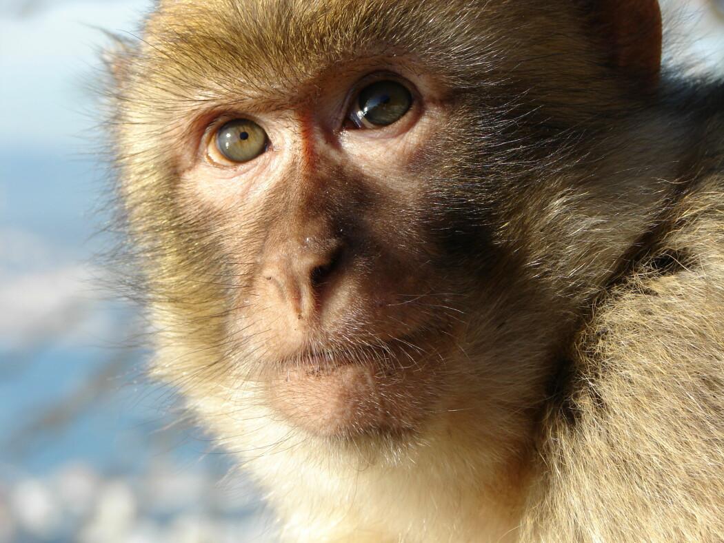 Ved å bruke en metode som kalles dyp hjernestimulering, kunne forskere vekke to aper opp fra narkose. Forskningen kan gi hint om hvordan man kan hjelpe mennesker i vegetativ tilstand eller koma.