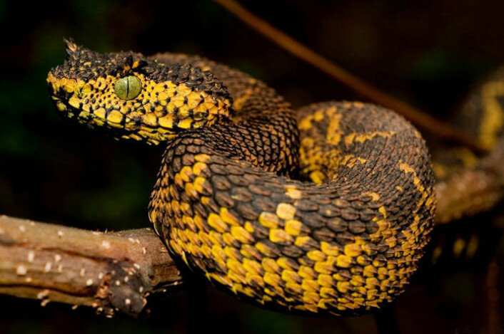 Det er funnet en ny slangeart i Tanzania, som har horn over øynene. Det er forventet at slangen blir et yndet bytte for krypskyttere. Mathilda's horned viper lever ikke i ørkenområder, i motsetning til andre slanger med horn. Området slangen er funnet på er lite, og preges av mye skogsdrift og produksjon av trekull. (Foto: Tim Davenport)