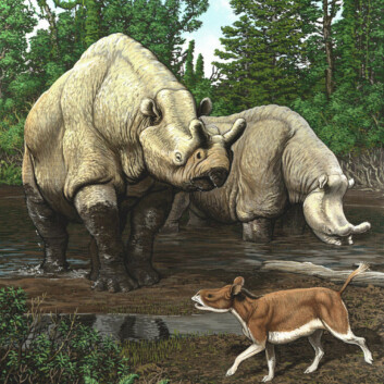 Sen-eocen i Nord-Amerika. De store neshornlignende dyrene er brontotherer. I forgrunnen en nærmere slektning av vårt neshorn, Hyracodon. (Foto: (Illustrasjon: Carl Buell))