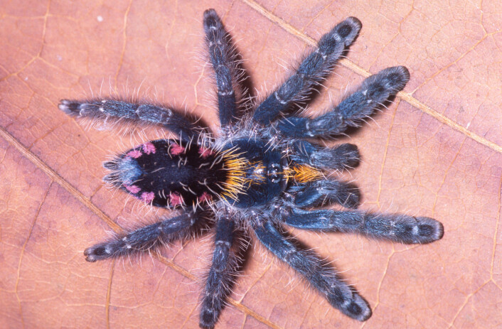 Typhochlaena costae har gule, blå og rosa prikker på sin mørke rygg. (Foto: Rogerio Bertani)