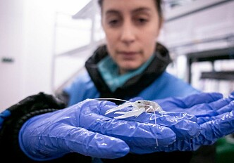 Delousing agent for farmed salmon causes 'arthritis' in juvenile lobsters