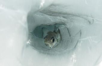 Polar cod in climate crisis