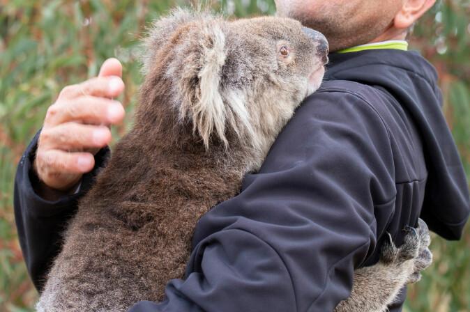 Dyr som koalaen forlot skogene og tigget etter vann hos mennesker.