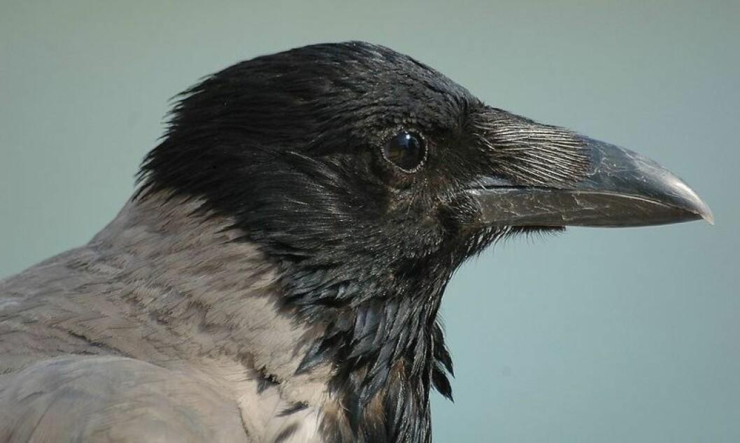 Kråke (Corvus cornix) fotografert i Helsinki. (Foto: Francisco M. Marzoa Alonso/ Wikimedia Commons. Se lisens.)