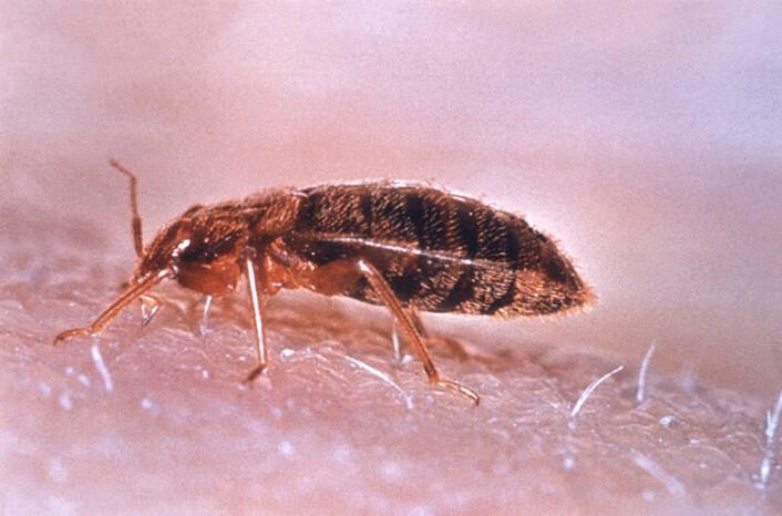 Veggedyr, eller Cimex lectularius. (Foto: CDC/WHO, se lisens)