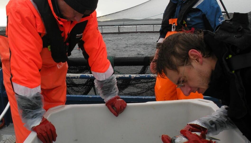 Peter Andreas Heuch og Daniel Limenez (t.h.) i ferd med å telle lus ved anlegg. Anne Kristin Jøranlid