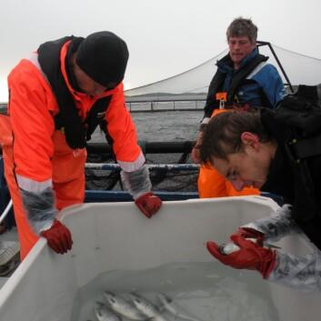 Peter Andreas Heuch og Daniel Limenez (t.h.) i ferd med å telle lus ved anlegg. (Foto: Anne Kristin Jøranlid)