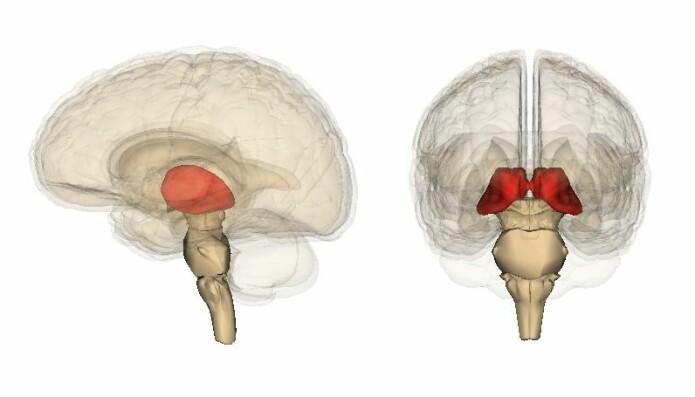 Thalamus ligger dypt inne i hjernen og består av grupper (kjerner) av nerveceller med utløpere til hjernebarken.