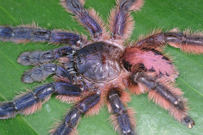 Typhochlaena amma er temmelig rosa på ryggen. (Foto: Rogerio Bertani)