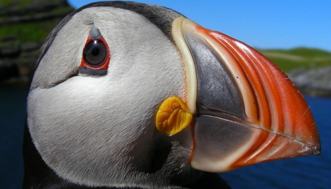 Portrett av en voksen lunde. Den eldste fuglen forskerne kjenner til har blitt 41 år gammel. Tycho Anker-Nilssen, NINA