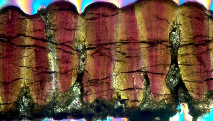Dinosaur-eggeskall under mikrokopet.