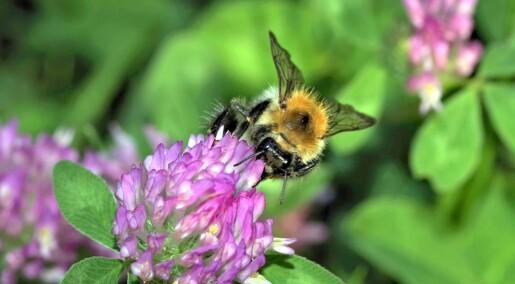 Byen kan være tilfluktssted for ville bier