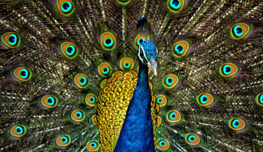 Mange fuglearter i India har gått tilbake i antall de siste tiårene ifølge en ny rapport. Men noen gode nyheter er det. Påfugler klarer seg bra og det har blitt flere av dem.