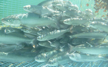 Sjørøye fanget i oppsamlingsbur, før fisken skal merkes i et treårig forskningsprosjekt som blant annet kartlegger sjørøyas bevegelser.  De med et hvitt merke på ryggen har fått sender i bukhulen. (Foto: Guttorm Christensen)