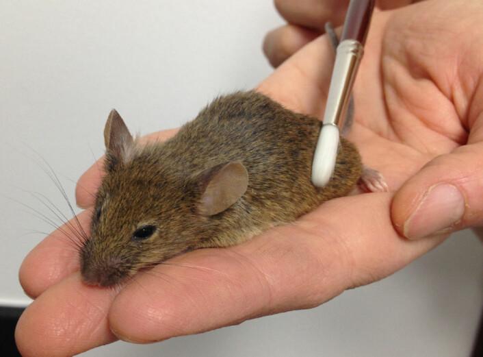 Forskerteamet fra California Institute of Technology identifiserte en spesiell type nerveceller som er følsomme for stryking av huden hos levende mus. Data ble samlet inn blant annet mens musene ble strøket med en pensel. (Foto: D. Anderson lab, Caltech)
