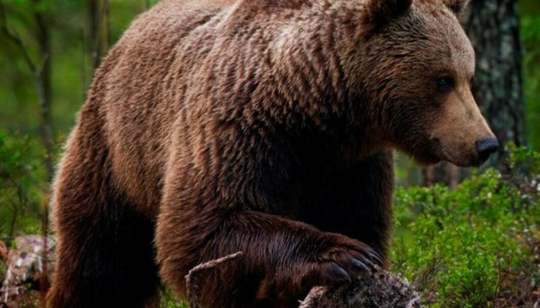 137 bjørner innenfor Norges grenser i 2012