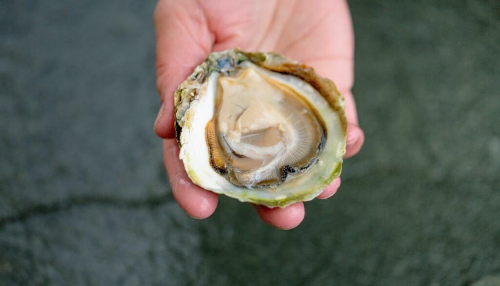 Varmebehandling kan drepe bakterier og virus, men fjerner ikke algegifter. Arkivfoto av østers, som typisk spises rå.