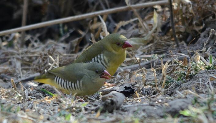 """Den lille grønne fuglen Gitterastrild finnes bare i India. Fuglen utsettes for fangst og har nå """"farlig lav forekomst"""", ifølge rapporten."""