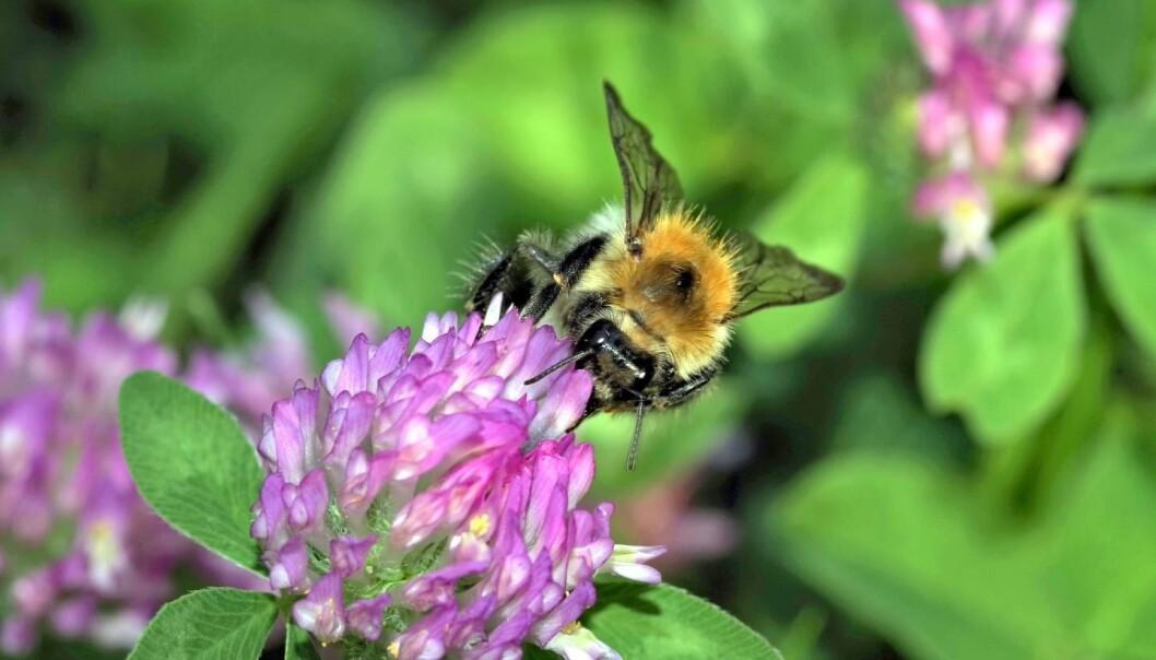 Humler og andre ville bier trives i byen.