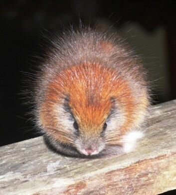 Denne trerotta, som kjennetegnes ved sin røde pels, har bare blitt sett tre ganger siden arten ble oppdaget for over 100 år siden. Den bor antageligvis bare i Santa Marta-fjellene i Colombia. (Foto: Lizzie Noble/Fundacíon ProAves)