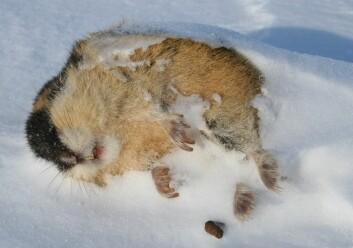 Ising på tundraen som et resultat av mildvær på vinteren kan gi en knekk i bestandene av lemen på Varangerhalvøya. (Foto: Rolf A. Ims)