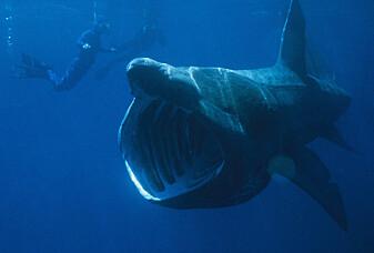 Åtte ting du ikke visste om haien