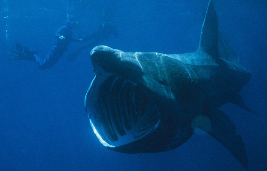 Dette er en brugde. Det er en hai som finnes utenfor kysten av Norge. Den svømmer med åpen munn for å fange krepsdyr.