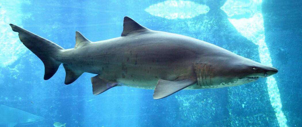 Dette er en sandtigerhai. De finnes ikke i Norge.