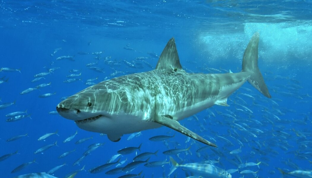 Hvithaien svømmer også når den sover. Den finnes ikke i Norge.
