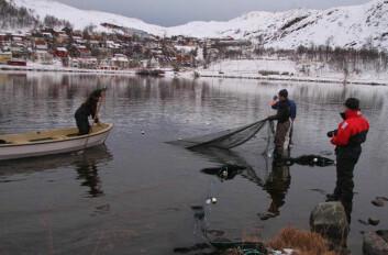 Sjørøye samles inn i Storvatn med landnot for nærmere undersøkelser. (Foto: Guttorm Christensen)